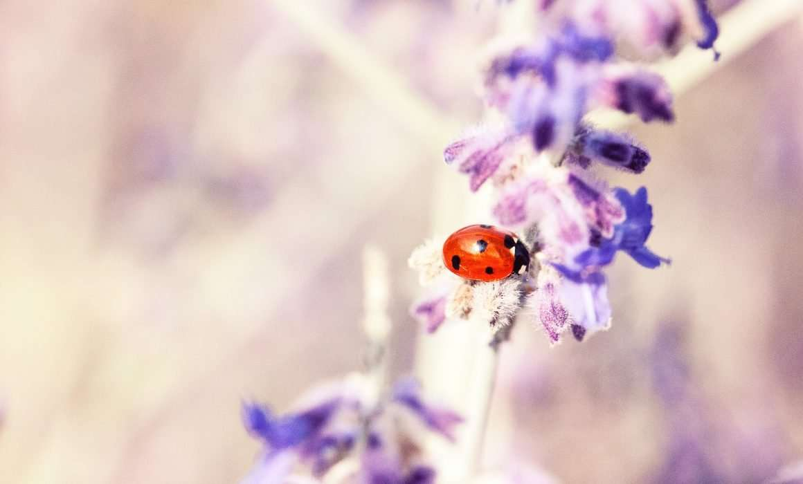 lady-bird-closeup-on-purple-lavender-flowers-finding-joy-in-little-things